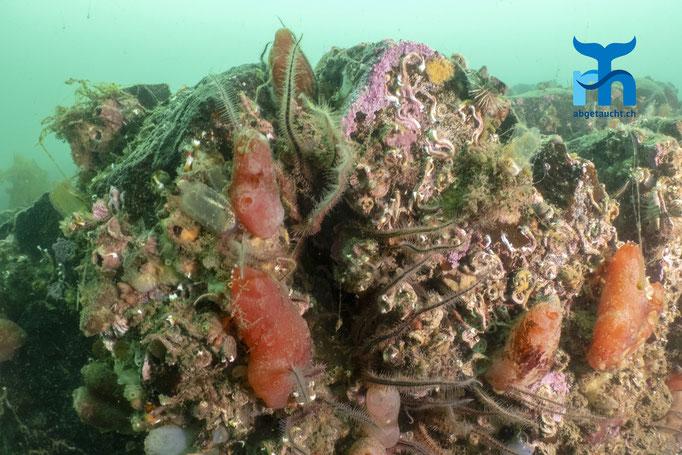 Ascidia mentula, red sea squirt, Stumpen-Seescheide: Viel Leben auf dem Felsblock © Robert Hansen, Juli 2019