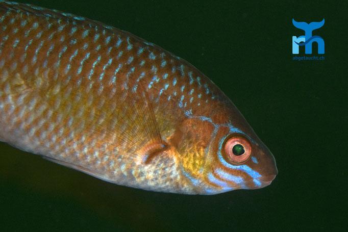 Centrolabrus exoletus, rock cook, kleinmäuliger Lippfisch: farbenprächtig bemalt © Robert Hansen, Juli 2019