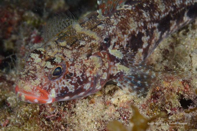 Und noch ein gut getarnter Fisch © Robert Hansen, Gozo Oktober 2015