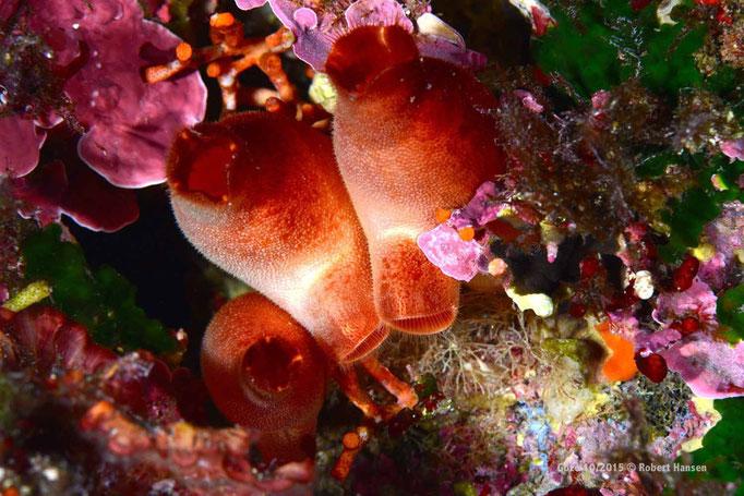 Seescheiden in 10 Metern Tiefe  © Robert Hansen, Gozo Oktober 2015