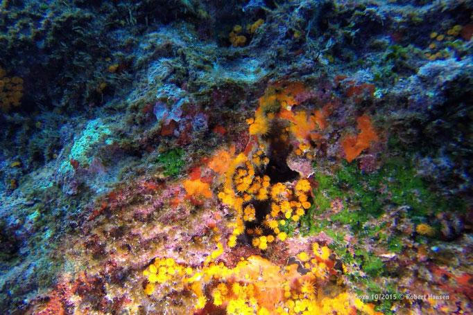 Eine Kolonie von Sternkorallen © Robert Hansen, Gozo Oktober 2015