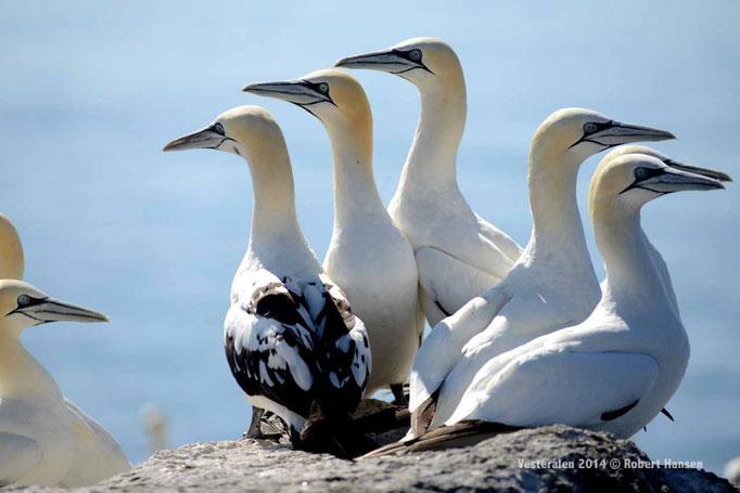 Der Jungvogel links ist vier Jahre alt © Robert Hansen