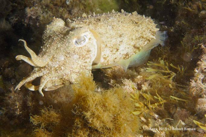 Gemeine Sepia. Das Tier frisst Krabben, kleine Fische und Garnelen. Die Hautfarbe wie auch die Oberflächenstruktur kann rasch wechseln. Hier bei einem Nachttauchgang in drei Metern Tiefe nahe der Küstenlinie. © Robert Hansen, Gozo 2015