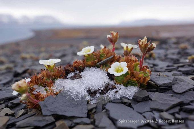 Tuesildre / Tufted Saxifraga / Rasensteinbrech - Svalbard 9/2014 © Robert Hansen