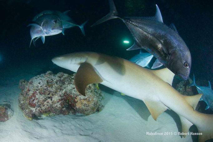 Das grosse Fressen: Ammenhai und Makrelen - Malediven 2015 © Robert Hansen