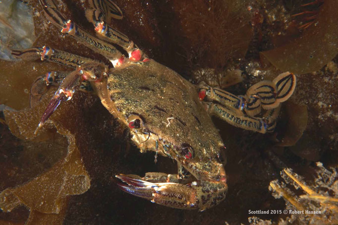 Krabbe im farbigen Kleid © Robert Hansen