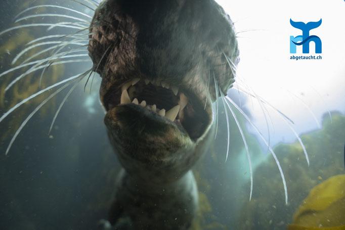 Halichoerus grypus, grey seal, Kegelrobbe: scharfe Beisserchen © Robert Hansen, Juli 2019