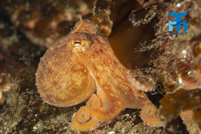 Eledone cirrhosa, curled octopus, Zirrenkrake: Neugieriger und verspielter Oktopus in sieben Metern Tiefe © Robert Hansen, Juli 2019