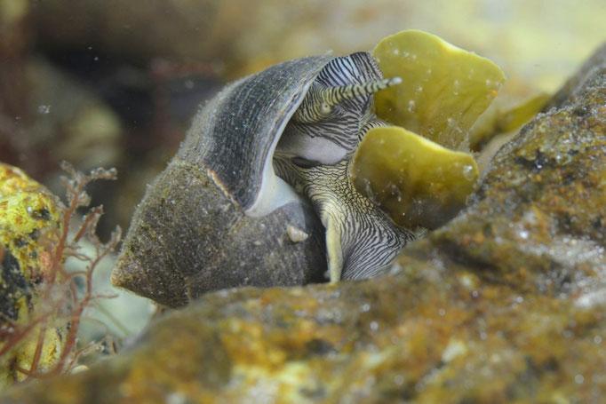 Eine drei Zentimeter grosse Schnecke vergnügt sich an Algen. © Robert Hansen, Ballstad, April 2014