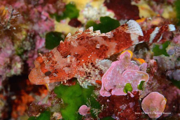 Skorionfische vertrauen auf ihre perfekte Tarnung und bleiben reglos © Robert Hansen, Gozo Oktober 2015