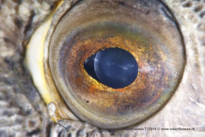 Auge in Auge mit dem Seewolf © Robert Hansen