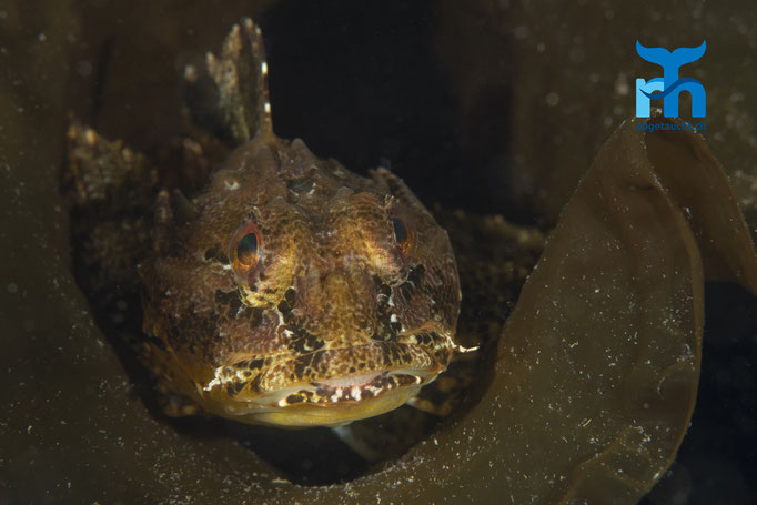 Taurulus bubalis, sea scorpion, Seeskorpion: im Versteck auf Lauerstellung © Robert Hansen, Juli 2019
