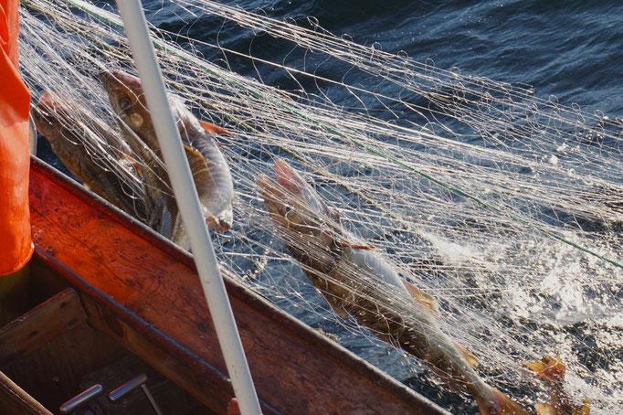 Dorsch im Netz. © Robert Hansen, Hamnøya, April 2014