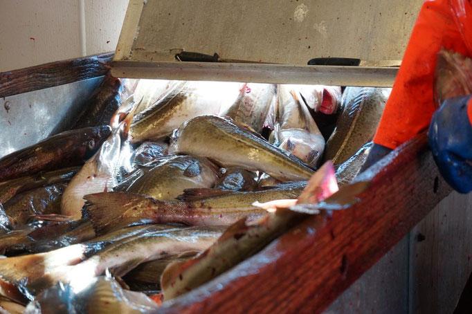 Die Dorsche werden an Land von den Fischern verarbeitet. © Robert Hansen, Hamnøya, April 2014
