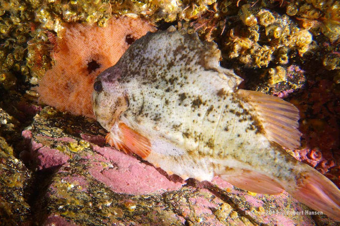 Rognkjeks - Lumpfish - Seehase (protecting the eggs) © Robert Hansen