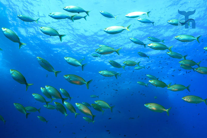 Die Goldstriemen (Sarpa salpa) sind im Schwarm im Blauwasser unterwegs © Robert Hansen