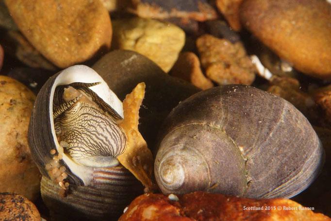 Schnecke frisst Kelp © Robert Hansen
