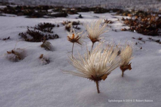 Myrull / Scheuchzer's Cottongrass / Scheuchzers Wollgras - Svalbard 9/2014 © Robert Hansen