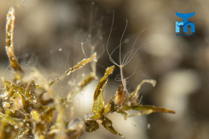 Süsswasseranemonen an Muscheln © Robert Hansen