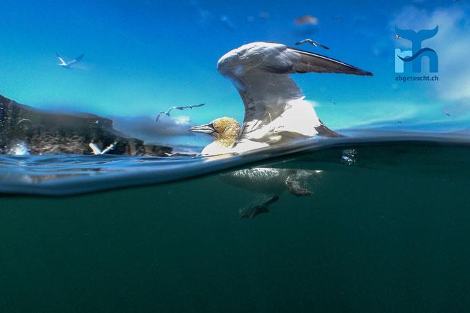 Morus bassanus, northern gannet, Basstölpel: grösster Seevogel der Shetlands© Robert Hansen, Juli 2019