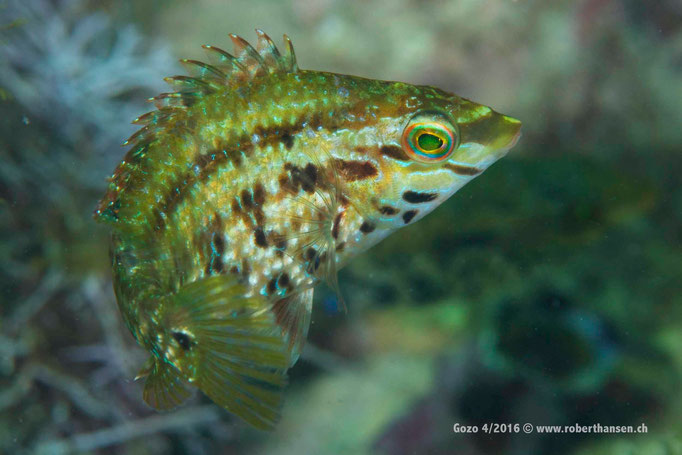 Fünffleckiger Lippfisch dreht seine Runden © Robert Hansen, April 2016