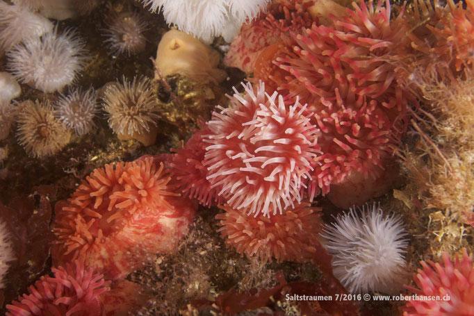 Die Anemonen gedeihen im Nährstoffreichen Wasser prächtig © Robert Hansen