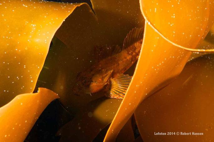 Ulke - Short-Horn Sculpin - Seeskorpion © Robert Hansen
