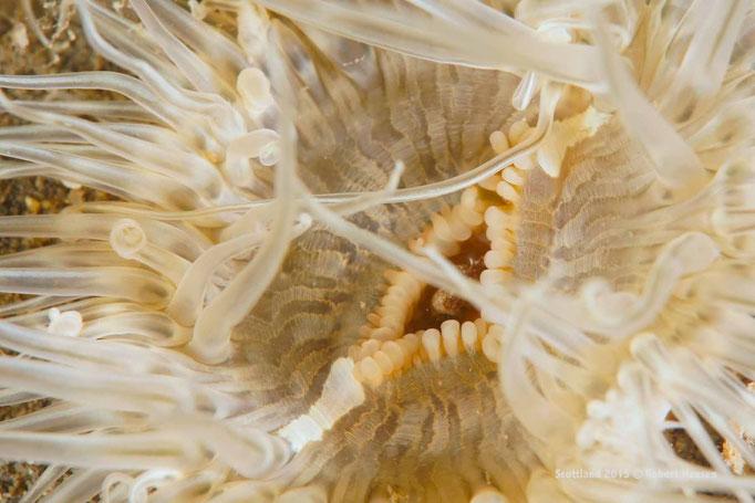 Mundschlund einer Anemone © Robert Hansen