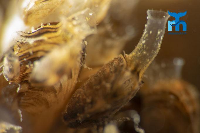 Atemorgane der Muscheln © Robert Hansen