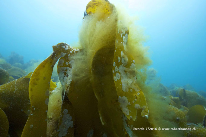 Kelp bietet diversen Lebensformen Schutz und Heimat © www.roberthansen.ch