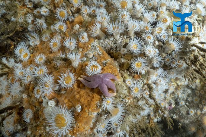 Actinothoe sphyrodeta, sandalled anemone, Sandallanemone: gepunkteter Blutstern mittendrin © Robert Hansen, Juli 2019