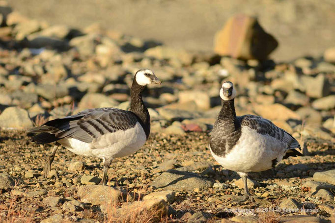 Hvitkinngås / Barnacle Goose / Nonnengans - Svalbard 9/2014 © Robert Hansen