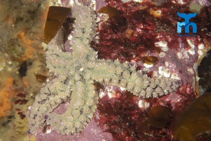 Marthasterias glacialis, spyni starfish, Eisseestern: überbordendes Leben © Robert Hansen, Juli 2019