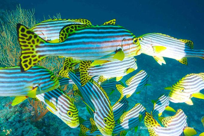 Süsslippenfische im Schwarm - Malediven 2015 © Robert Hansen