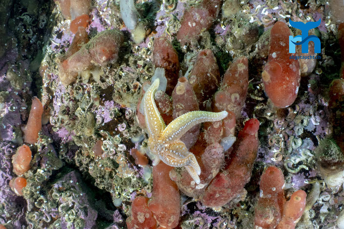 Corella parallelogramma, gas mantle sea squirt, parallel Seescheide: Seestern, Seescheiden und Hartkorallen © Robert Hansen, Juli 2019