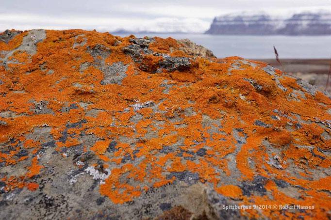 Lav / Lichens / Flechten - Svalbard 9/2014 © Robert Hansen