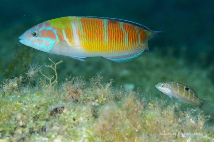 Der Papageinefisch sucht nach dem nächsgten Leckerbissen © Robert Hansen, Gozo Oktober 2015