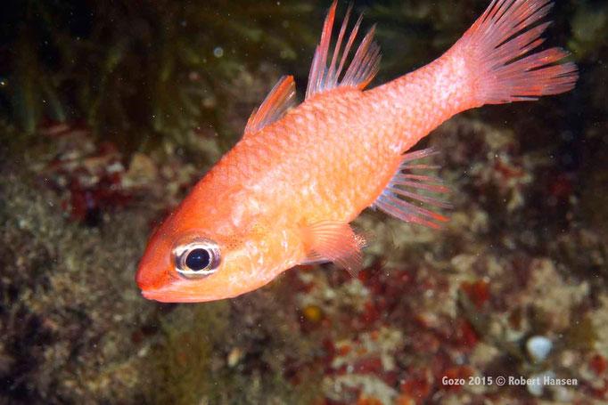 Meerbarbenkönig. In schattiger Umgebung anzutreffen, in Grotten und Höhlen. Hier in einer Tiefe von 15 Metern. © Robert Hansen, Gozo 2015