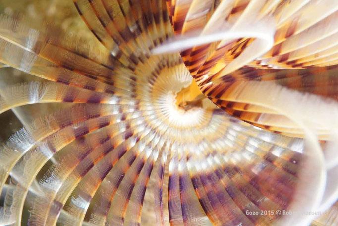 Schraubensabelle. Die Wohnröhre des Tieres ist meist auf Hartböden befestigt. Die Tentakelkrone hat mehrere Windungen und die einen Durchmesser bis zu 20 Zentimetern. Die Schraubensabelle zieht sich bei Gefahr blitzschnell in die Röhre zurück und kann um