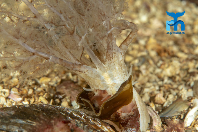 Neopentadactyla mixta, gravel sea cucumber, Seegurke: halb eingegraben im Sand © Robert Hansen, Juli 2019