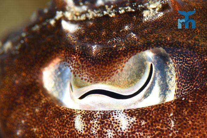 Auge in Auge mit der Sepia (Sepia officinalis). Welch Wunderwerk der Natur © Robert Hansen