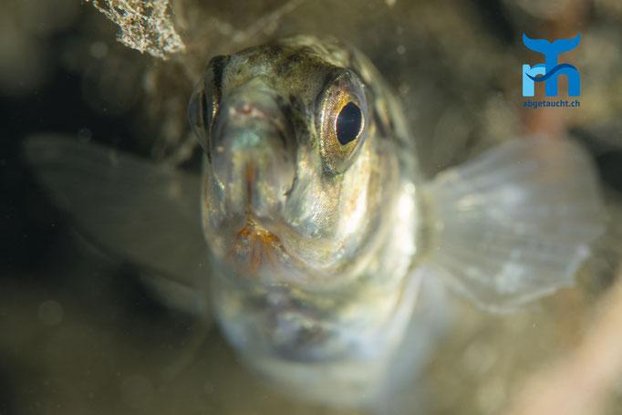 Ein Stichling beäugt die Kamera © Robert Hansen