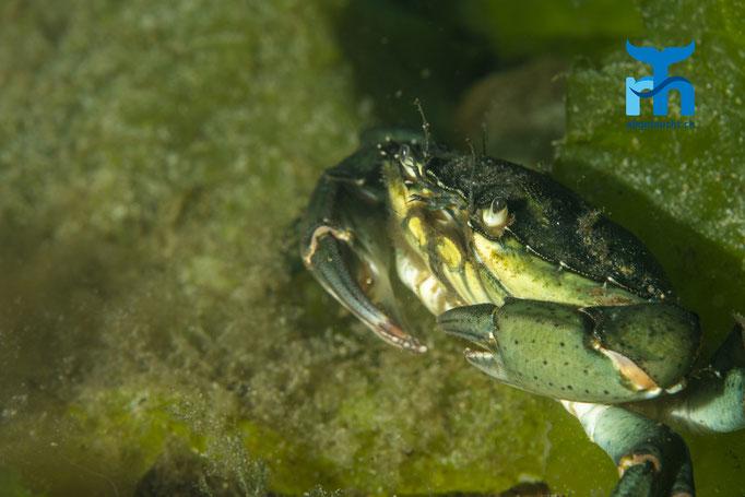Carcinus maenas, shore crab, gemeine Strandkrabbe: farblich passende Umgebung © Robert Hansen, Juli 2019