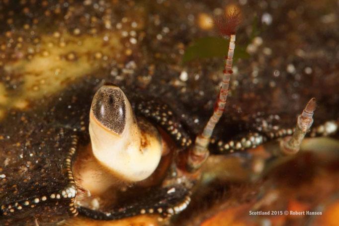 Facettenauge einer Krabbe © Robert Hansen