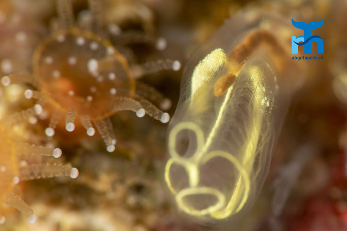 Pycnoclavella aurilucens, orange lights sea squirt, Schlauchseescheide: Verdauungstrakt © Robert Hansen, Juli 2019