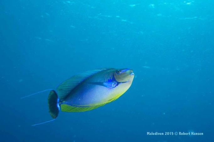 Unterwegs im Blauwasser - Malediven 2015 © Robert Hansen