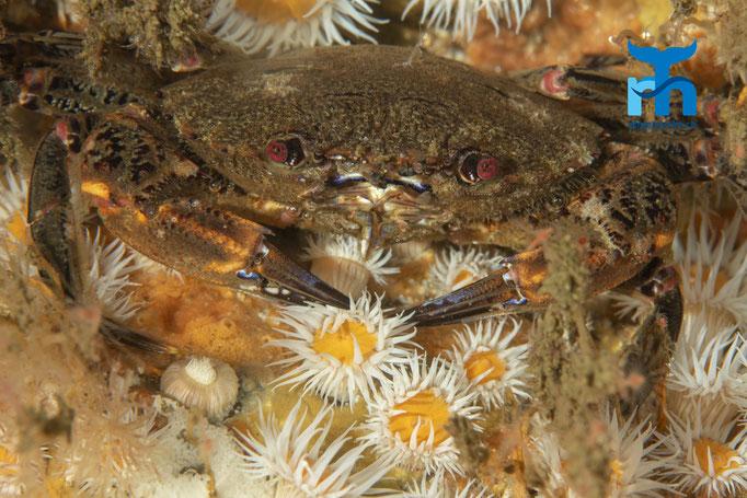Actinothoe sphyrodeta, sandalled anemone, Sandallanemone:  Krabbe in Lauerstellung zwischen den Anemonen © Robert Hansen, Juli 2019