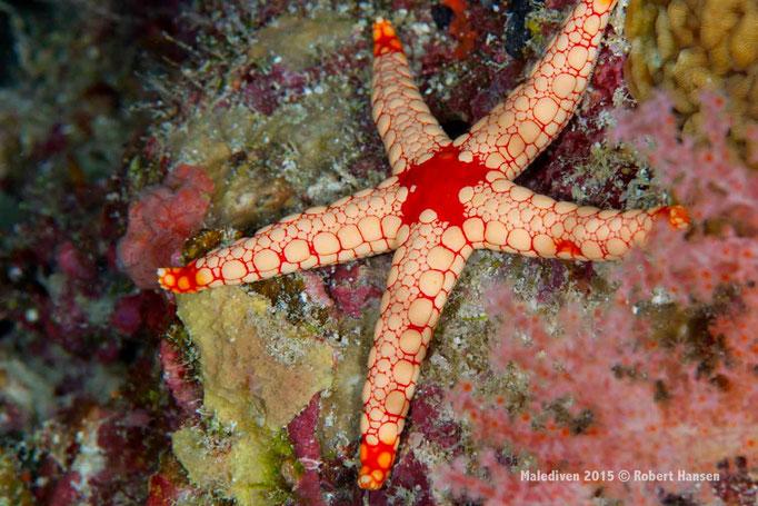 Seestern - Malediven 2015 © Robert Hansen