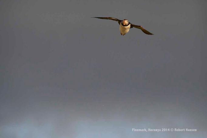Lunde, Fratercula arctica, Puffin, Papageientaucher - Hornøya 2014 © Robert Hansen