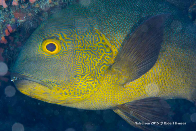 Komplementärfarbenfisch - Malediven 2015 © Robert Hansen